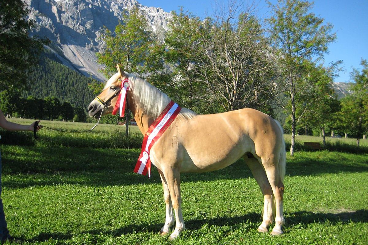 Ferchtlhof Ramsau, Urlaub am Pferdehof in der Steiermark, Zuchtpferd Estella