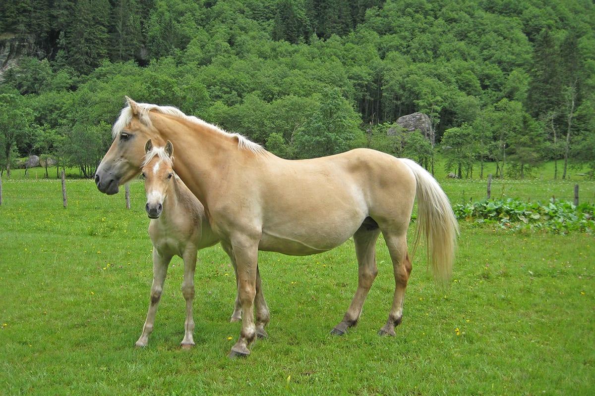 Ferchtlhof Ramsau Pferdezucht