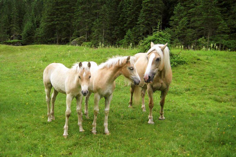 Pferdesport - Urlaub in Ramsau am Dachstein
